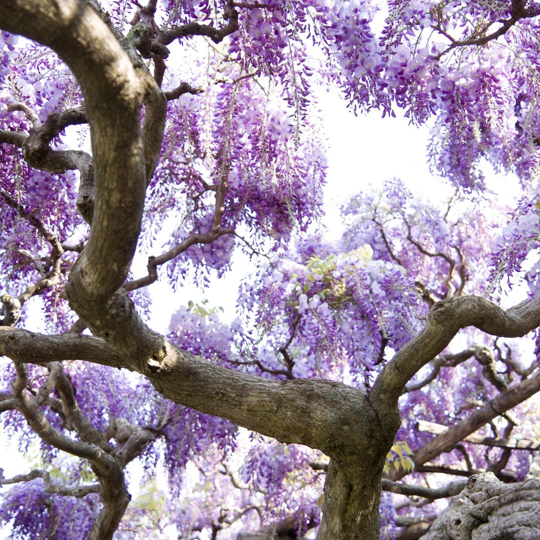 Glycinia Canopy